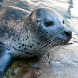 Atlantic harbor seals in their exhibit on the Aquarium plaza.