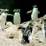 Rockhoppers in the Penguin Exhibit