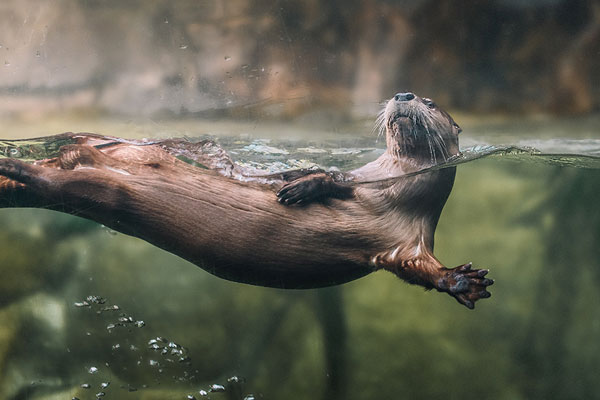 Incredible creature like the Sea Otter