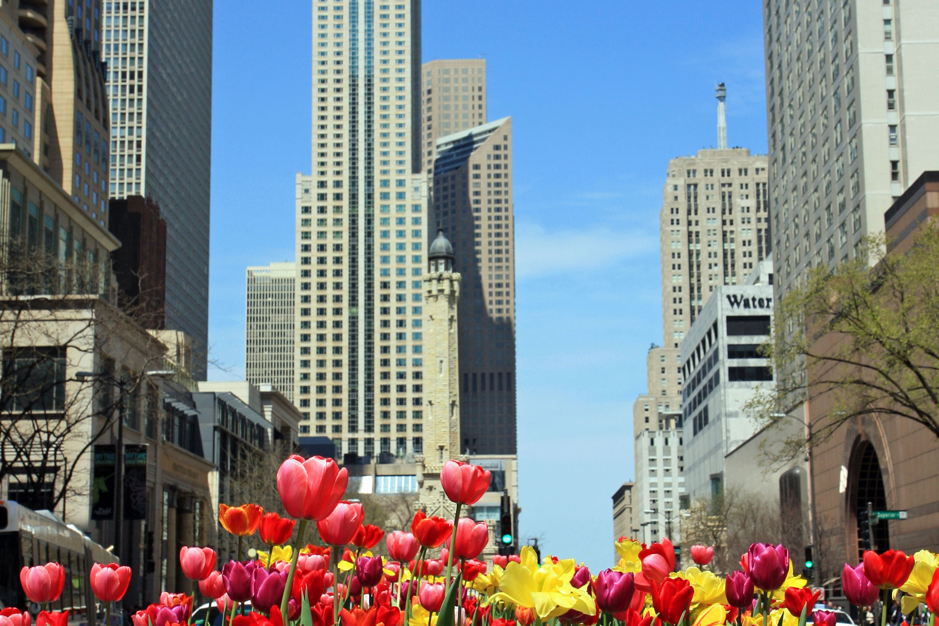 Tulips on Michigan Ave