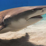During the daily tours, the Key West Aquarium's collection of sharks, rays and turtles are fed