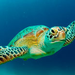 The Key West Aquarium is committed to helping protect the endangered sea turtles.
