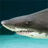 Face-to-face contact with the ocean's ultimate predator in the Shark Lagoon