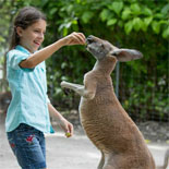Interact With The Kangaroos