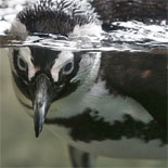 the Aquarium features two species of warm-water penguins