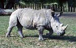 The Southern White Rhinos of the African Savannah Exhibit