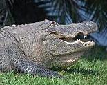 Alligator Island