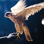 Experience the flight of the royal falcon