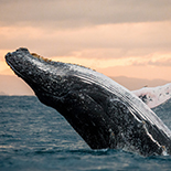 Whale Watching by Hornblower Cruises (Winter/Summer)