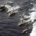 A School of Dolphins off the California Coast