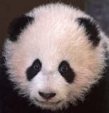 Giant Panda, Su Lin