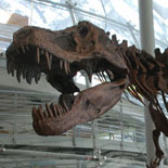 A Tyrannosaurus Rex Guards the History Museum