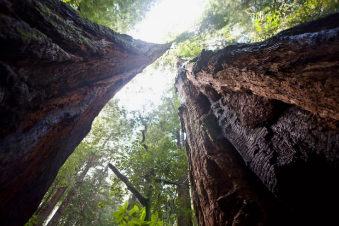 Explore the giant redwood sequoia trees