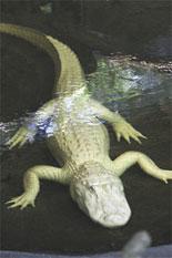 See a Rare Albino Alligator