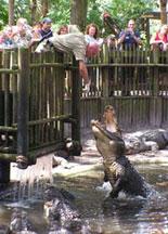 Alligator Feedings Daily