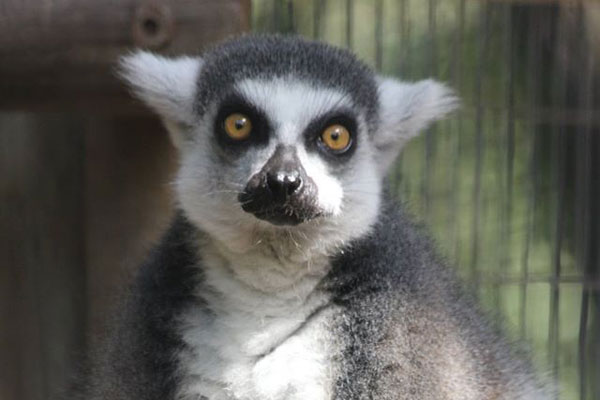 The lemurs-are so cute