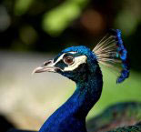 Stroll through this waterfront park where peacocks strut and shady oaks beckon you.