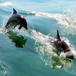 See Pods of Dolphins