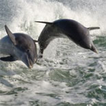 See Acrobatic Dolphins Surf and Dive