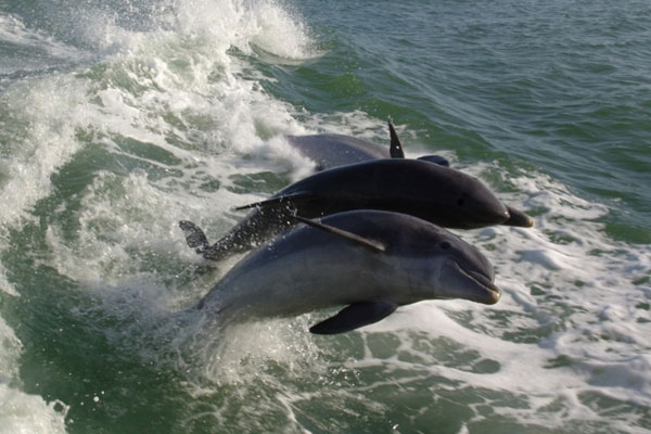 See Dolphins Surfing the Wake